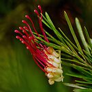 Elegant Grevillea. by Bette Devine