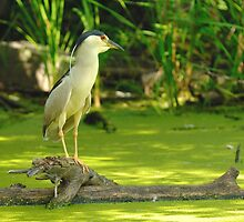 Night Heron  An evening fishing in the bay. by gregsmith