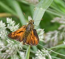Large Skipper (Ochlodes faunus) by lynn carter
