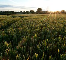 Sunburst wheat field by Cyrusdvirus