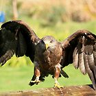 Yellow-billed Kite by croust
