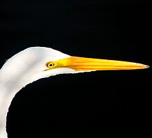 Great Egret Portrait. Merrit Island N.W.R. by chris kusik
