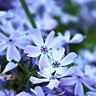 Purple flowers by Jeanette Muhr