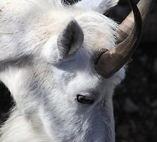 Mountain goat portrait by zumi