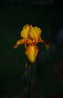 Yellow Iris iPhone Case by Elaine Teague
