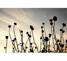 Thorn Sunset Photographic Print