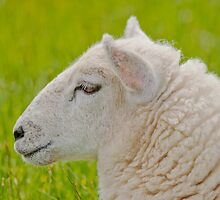 Swifter Sheep Portrait by Margaret S Sweeny