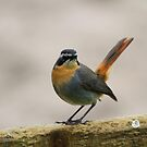 Cape Robin by croust