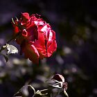 Mock Lomo Rose by fmschiele