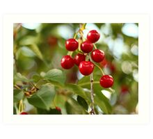 Cherries on the Cherry Tree Art Print