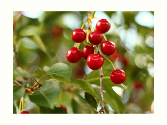 Cherries on the Cherry Tree by Thomas Murphy