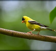 MALE GOLDFINCH by Sandy Stewart