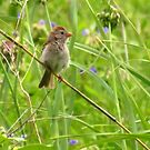 Sweet, Sweet Sparrow  by lorilee
