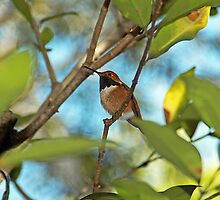 Rufous Hummingbird - - Cards by Maria A. Barnowl