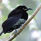 Victoria&#x27;s Riflebird (Mature Male) taken at Paluma by Alwyn Simple