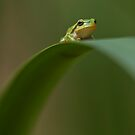 Hyla arborea by Csar Torres