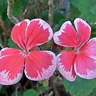 Justa Plain Geranium Pair by Rick Playle