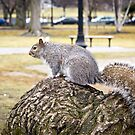 Squirrel on Boston Common by Philip Kearney
