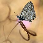 Long-tailed Blue by jimmy hoffman
