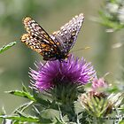 Baltimore Checkerspot by LaurieSalzler