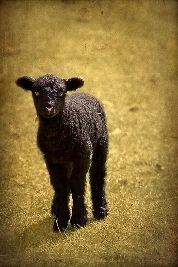 Mary Had A Little Lamb by Evelina Kremsdorf