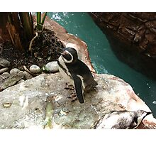 """""""Black Footed Penguin 1""""  by Carter L. Shepard Photographic Print"""