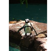 """""""Black Footed Penguin 2""""  by Carter L. Shepard Photographic Print"""