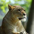 lions of longleat by mark tabrett