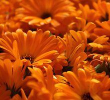 Marigold Heads by karina5