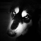 Alaskan Malamute - B+W by Parise