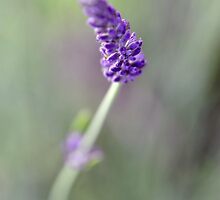 Study in Lavender by Simon  Downham