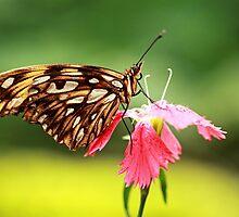 Gulf fritillary tropical butterfly by Grant Glendinning