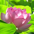 Sacred Lotus by solena432