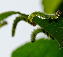Garden Caterpillars by DMontalbano