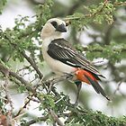 White-headed Buffalo-Weaver by David Clarke