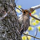 Northern Flicker by Bill  Watson