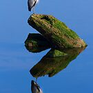 Great Blue Reflection by DawsonImages