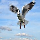 Hovering Gull by gmws