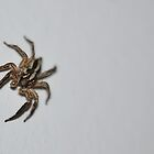 Hairy Spider on the Wall by TheBluePlanet