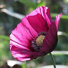 Poppy Pizzazz! by Pat Yager