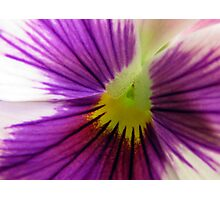 White and Purple Pansy Photographic Print
