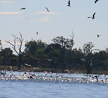 The birds are back  ,Barmera,S.A. by elphonline