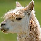 Llama Portrait by Margaret S Sweeny