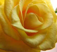 Yellow Rose Trois by tobeandtohave