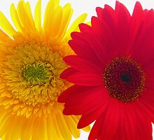 Yellow and Red Gerberas by tobeandtohave