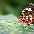 Orange Lacewing by Scott Carr