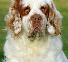 Clumber Spaniel by Traffordphotos