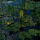 Budding Yellow Water Lily by linderel
