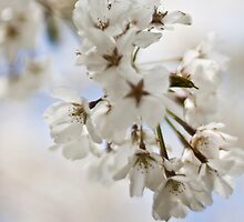 White Blossoms by Herbergs Hot Shots .
