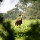deer by mark tabrett